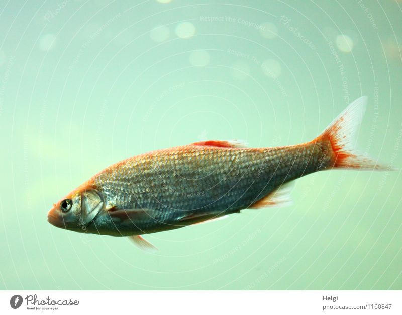 weightlessly Water Animal Fish Aquarium 1 Looking Swimming & Bathing Uniqueness Small Wet Blue Gray Red Contentment Attentive Loneliness Life Nature Environment