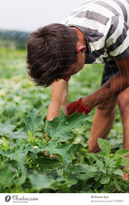 Bend over to pick cucumbers Vegetable Work and employment Agriculture Forestry Human being Masculine 1 18 - 30 years Youth (Young adults) Adults Environment