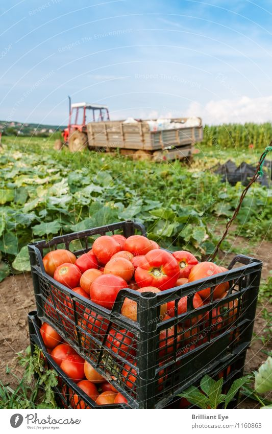 Tomato box in front of tractor Summer Agriculture Forestry Nature Landscape Plant Weather Beautiful weather Agricultural crop Field Esthetic Fresh Healthy