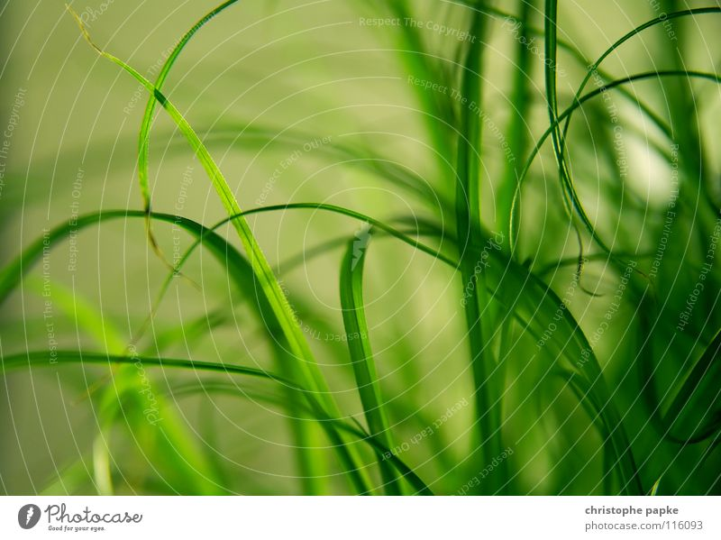 greenlines Organic produce Decoration Nature Plant Spring Grass Growth Natural Soft Green Blade of grass Ecological Houseplant Background picture cat grass