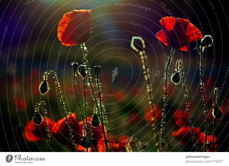 she comes in colors erverywhere Red Poppy Back-light Violet Field Corn poppy Blur Summer Colour late hour