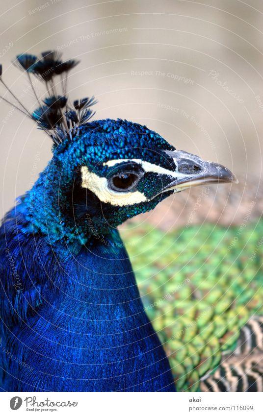 Animal Bird Hunting Stupid Testing & Control Watchfulness Caution Warped Hunter October Area Peacock 2007 Rum