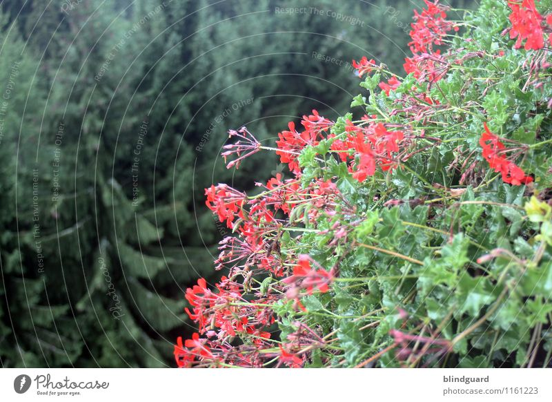 Flowers and trees flowers Bird's-eye view Summer blossom Red Green firs top Nature Plant Exterior shot Blossom Colour photo Garden naturally Deserted Close-up