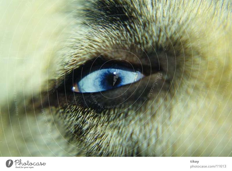 husky`s eye Dog Husky blue eyes