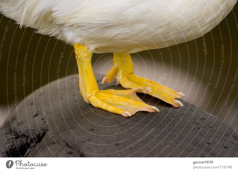 Water White Yellow Cold Stone Feet Bird Feather Stomach Duck Barefoot Goose Claw Webbing Toenail