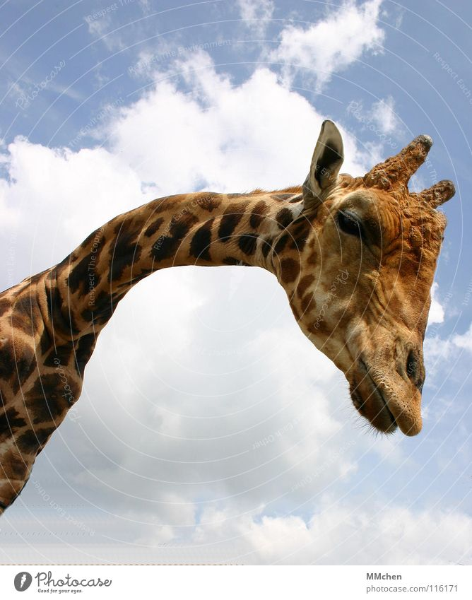 Sky Animal Yellow Air Small Nose Large Lips Curiosity Pelt Zoo Long Neck Mammal Captured Short