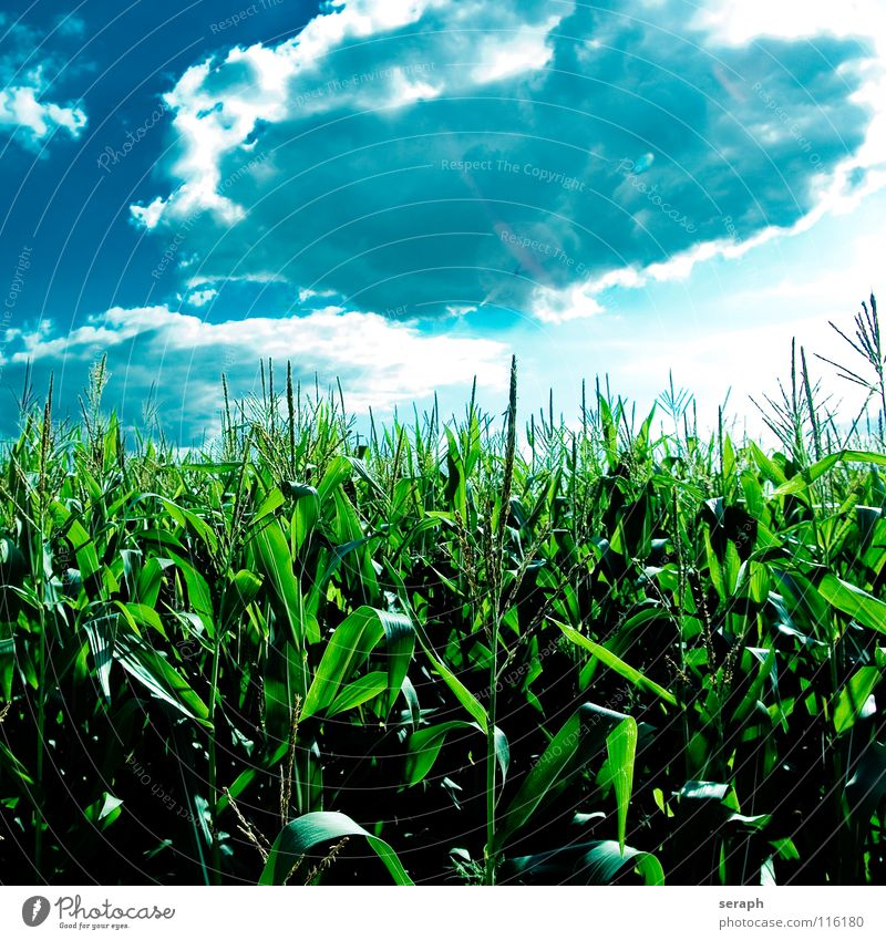 Popcorn Sky Blue Green Plant Summer Clouds Grass Blossom Field Blossoming Agriculture Grain Harvest Seed Rural Herbaceous plants