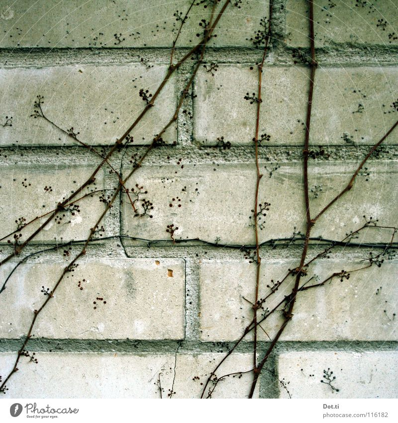 Plant Winter Wall (building) Gray Wall (barrier) Stone Growth Gloomy Vine Brick Twig Seam Section of image Tendril Creeper Leafless