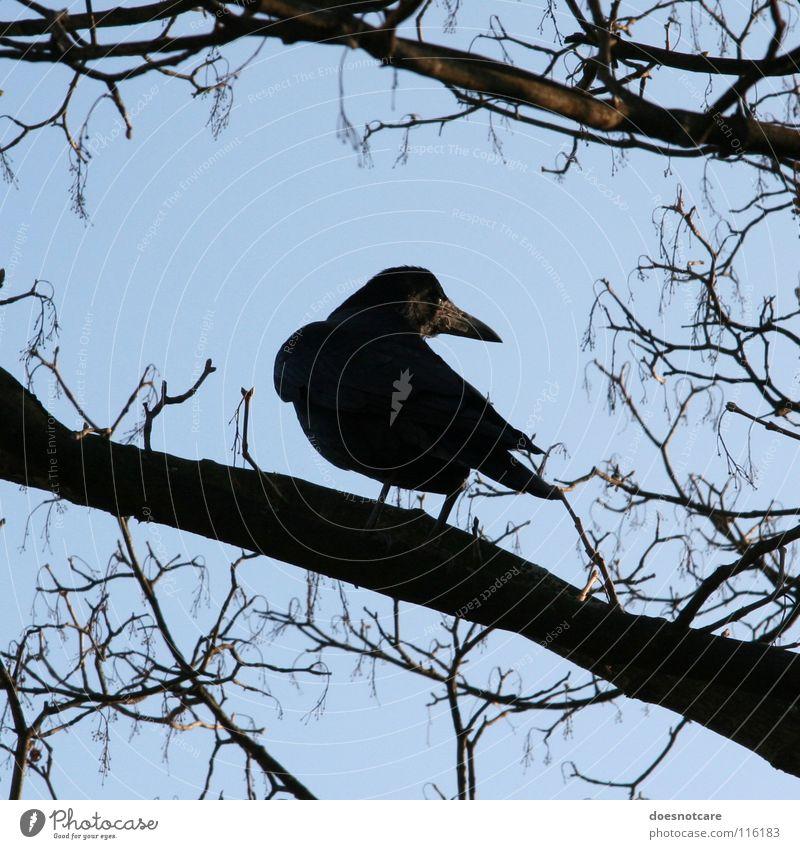 Sky Tree Blue Black Animal Autumn Death Bird Transience Watchfulness Raven birds Crow Clear sky