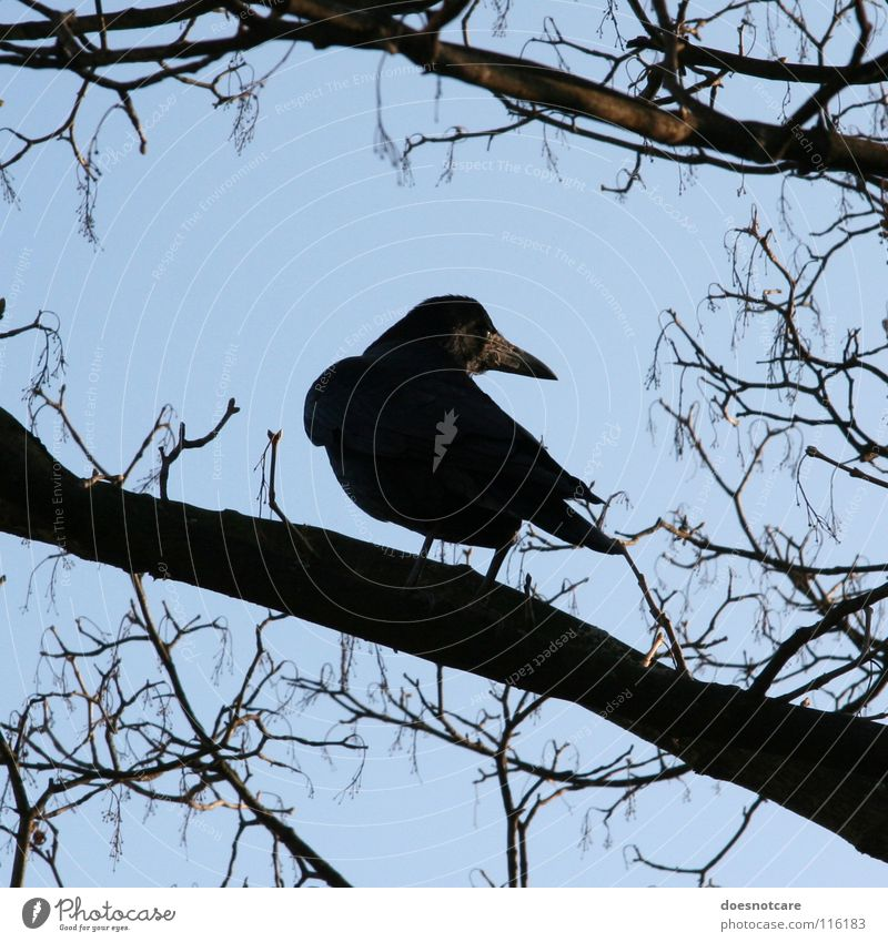 Sky Tree Blue Black Animal Autumn Death Bird Transience Watchfulness Raven birds Crow Clear sky