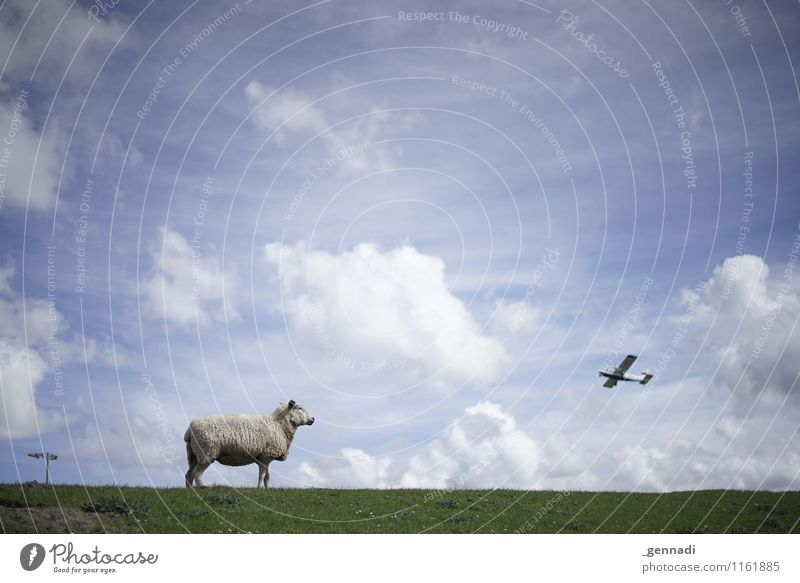 Something's going on on the dike Farm animal Sheep Flying Nature Dike Heaven Clouds Beautiful weather Blue sky Airplane Meadow Wool Aviation Colour photo