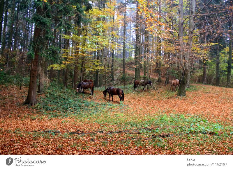 idyll of herbs Vacation & Travel Tourism Trip Hiking Ride Nature Landscape Plant Animal Autumn Tree Forest Horse 4 Herd Contentment Trust Together Attentive