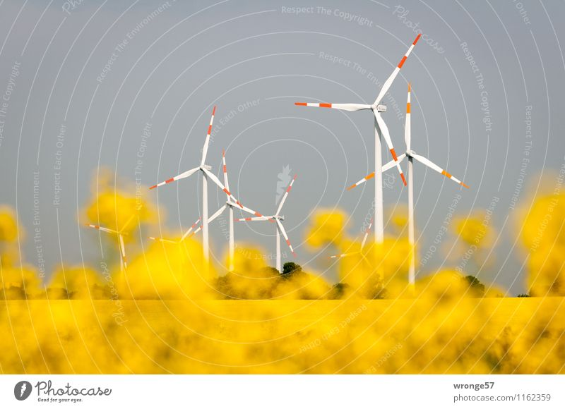 Renewable Energies Energy industry Renewable energy Wind energy plant Environment Plant Cloudless sky Horizon Summer Blossom Agricultural crop Canola