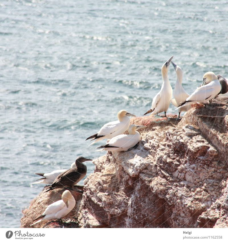 nesting colony Vacation & Travel Tourism Ocean Environment Nature Landscape Animal Water Summer Beautiful weather Rock North Sea Island Helgoland Wild animal