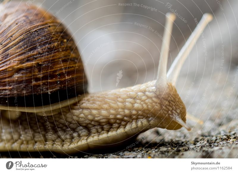 Snail from the side Environment Nature Landscape Plant Animal Spring Garden Park Meadow Field Forest Vineyard Vineyard snail Large garden snail shell 1 Breathe
