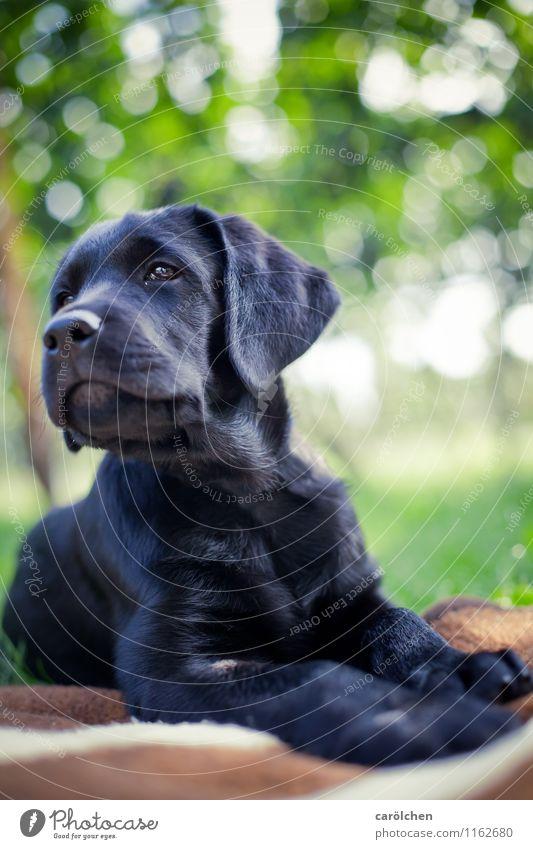 Dog Blue Green Animal Black Lie Pet Pride Labrador Puppy