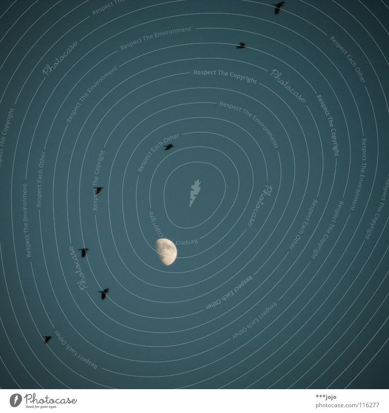 hitchcock. Bird Creepy Sky Dark Rain Infinity Celestial bodies and the universe Eerie Raven birds Crow Migratory bird Fear Panic Blue Evening Moon Formation