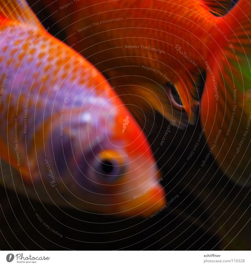 Water Eyes Orange Together Gold Pair of animals Glittering Swimming & Bathing Fish In pairs Divide Aquarium Tails Water wings Animal Matrimony