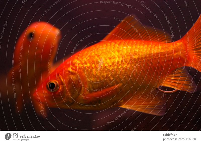 Water Eyes Orange Together Gold Pair of animals Glittering Swimming & Bathing Fish In pairs Aquarium Tails Water wings Animal Matrimony Goldfish