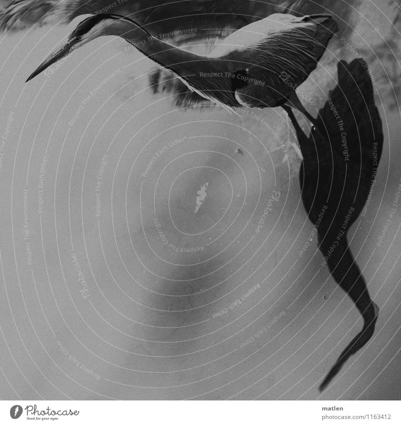 the ancients know the corners Lakeside Animal Wild animal Bird Wing 1 Stand Gray Black White Observe Motionless Grey heron Shadow play Black & white photo