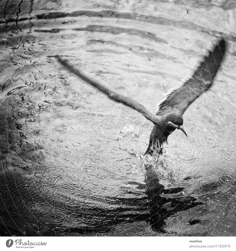 Appeared Animal Bird 1 Flying Black White Emerge Terns Dripping Wing Black & white photo Exterior shot Deserted Copy Space top Reflection Animal portrait