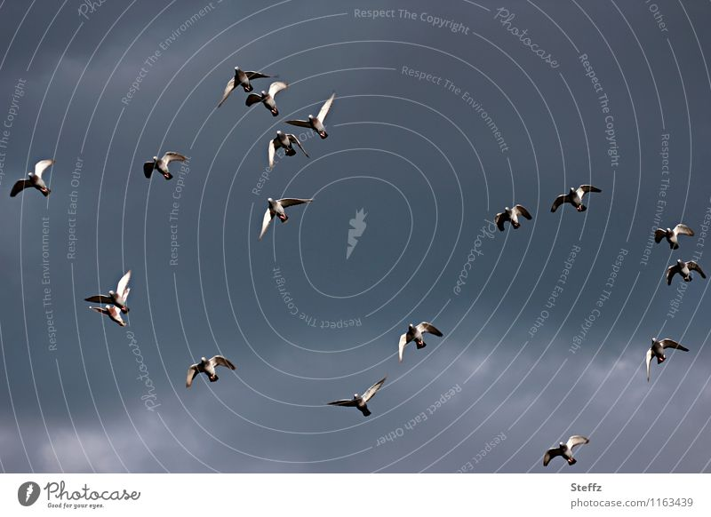 pigeon flight Nature Sky Bird Pigeon Flying Tall Uniqueness Natural Blue Gray Chaos Dove gray Slate blue Gray-blue Flight of the birds Floating Muddled