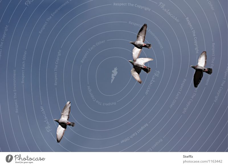Pigeon flight II Nature Sky Cloudless sky Bird Wing 4 Animal Flying Tall Natural Blue Gray Graceful pigeon flight Dove gray Slate blue Floating Copy Space