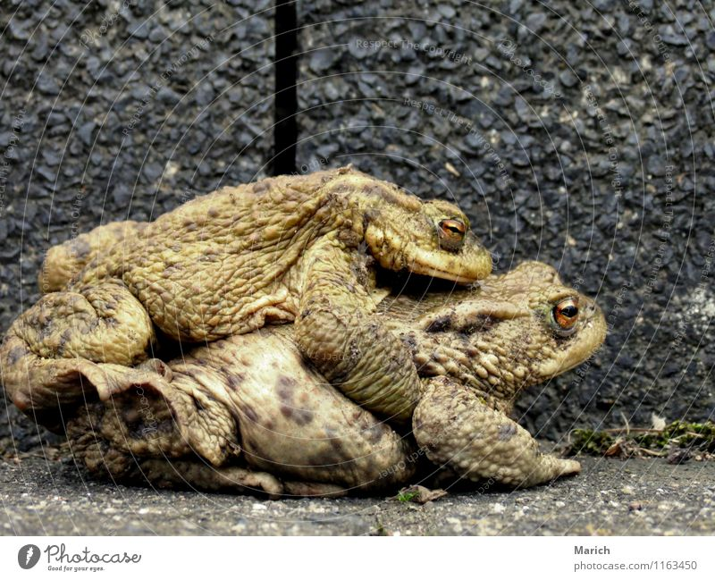 toad migration Animal Frog 2 Sex Naked Slimy Brown Spring fever Passion Trust Safety (feeling of) Warm-heartedness Love Love of animals Infatuation Desire Joy