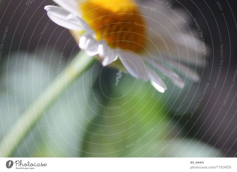 in the wind Environment Nature Plant Spring Summer Wind Flower Blossom Camomile blossom margarithe Garden Park Field Blossoming Growth Esthetic Natural Soft