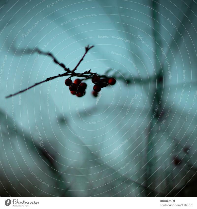 Forbidden fruits Red Nutrition Bird Winter Autumn Glittering Illuminate Reflection Blur Dark Brown Friendliness Poison Warning colour Transience Grief New Calm