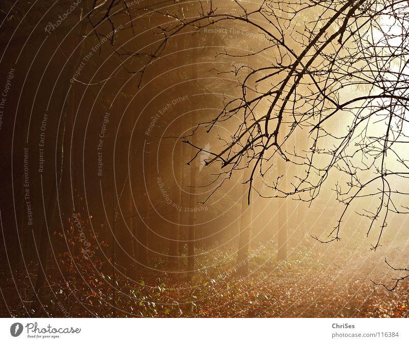 Tree Sun Winter Leaf Black Forest Landscape Autumn Warmth Lanes & trails Lighting Brown Gold Fog Beginning Cute