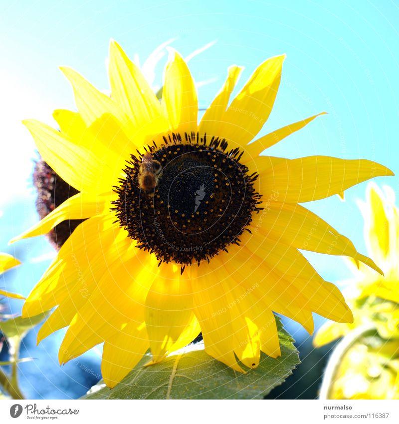 Sky Sun Flower Summer Yellow Warmth Field Physics Grain Sunflower
