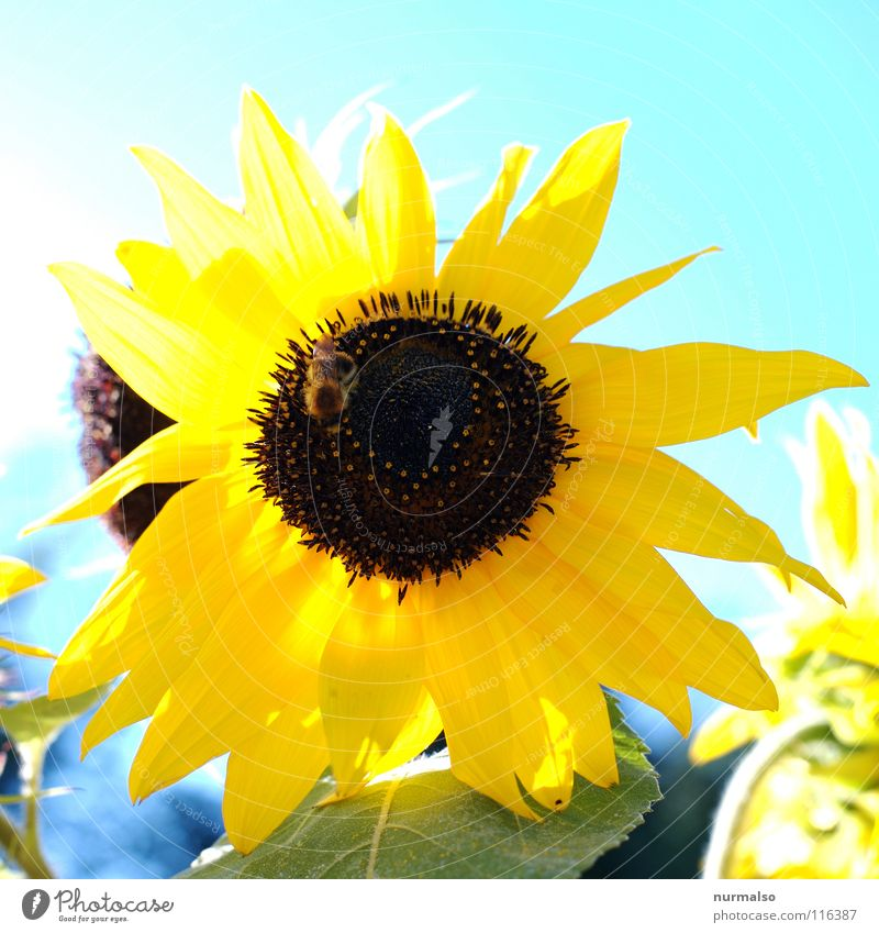 Sun for the year Flower Sunflower Yellow Summer Grain Physics Field Warmth Sky sunflower seeds