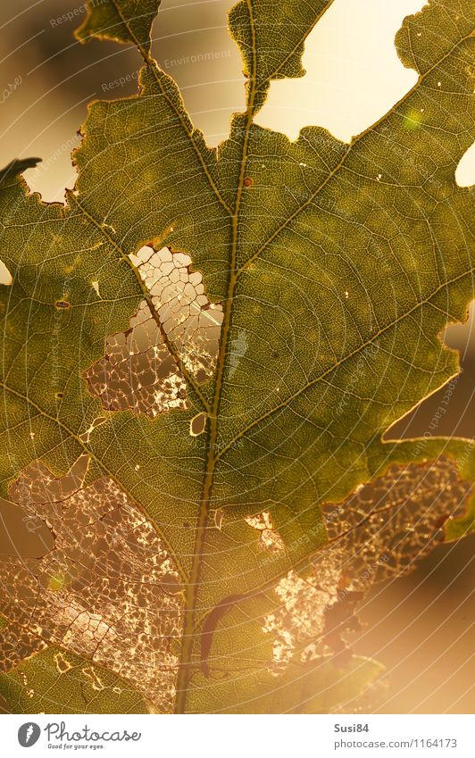 Oak leaf against the light Nature Plant Summer Leaf Wild plant Oak tree Forest To feed Illuminate Esthetic Bright Uniqueness Natural Gold Green End Idyll