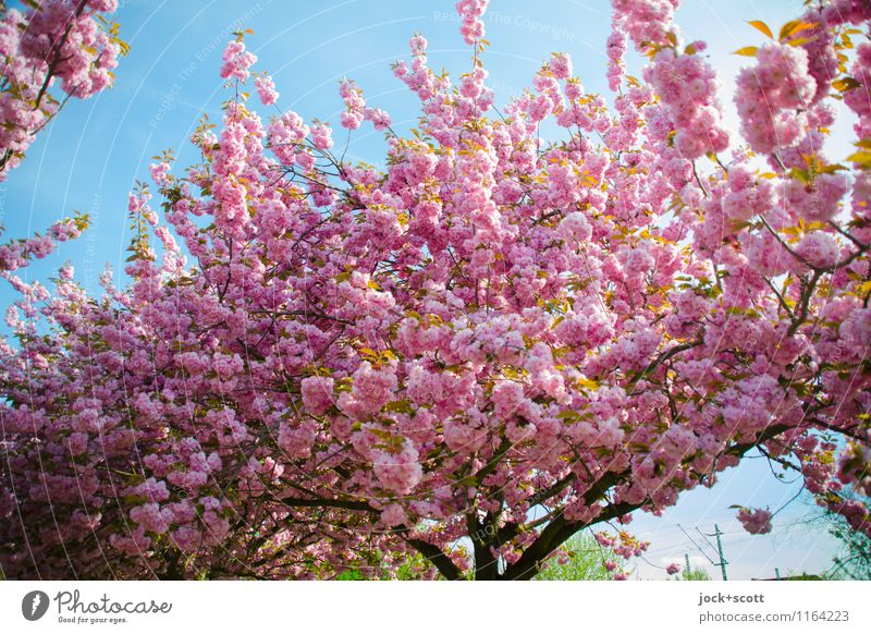 Cherry tree blossom Beautiful Life Warmth Blossom Spring Natural Happy Pink Fresh Growth Esthetic Large Beginning Blossoming Transience Uniqueness