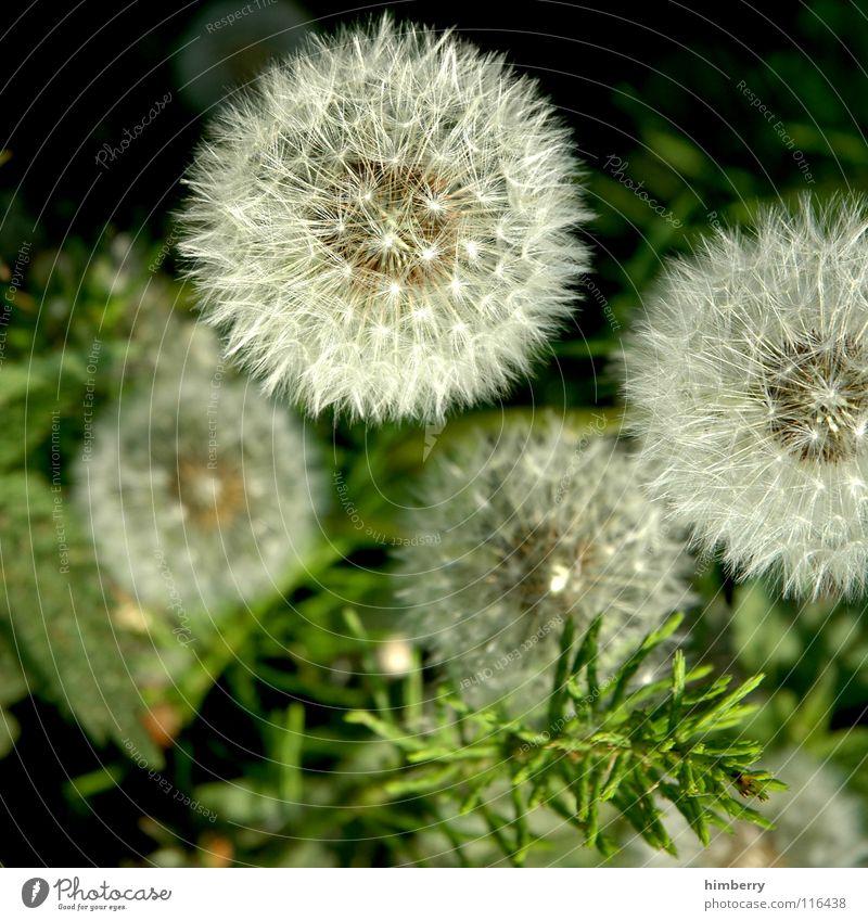 pusteblumencase Dandelion Flower Nature Wild plant Grass Summer Autumn Park Plant Seed