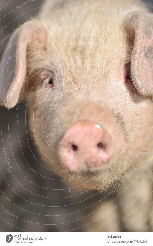 Nature Landscape Animal Eyes Cute Swine Farm animal Pork