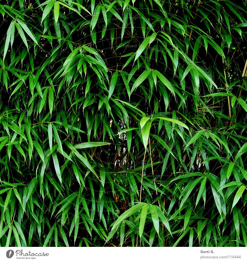 bamboo Plant Food Nutrition Material Garden art Natural product Raw materials and fuels Growth Overgrown Green Winter festival Botany bamboo-garden Bamboo stick