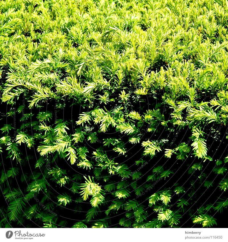 heckencase Bushes Hedge Plant Green Park Spring Nature Shadow Fir needle