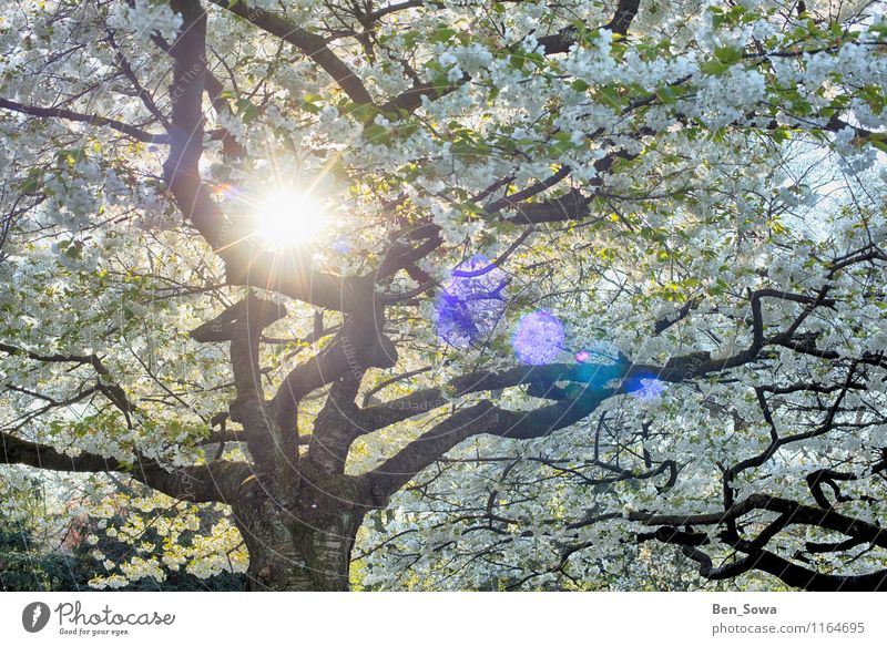Tree blossoms in the spring sun Harmonious Relaxation Calm Meditation Environment Nature Spring Plant Leaf Blossom Bud Blossom leave Faded Fragrance Fantastic