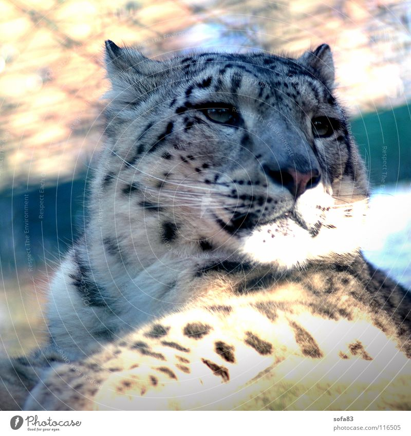 schneeleo1 Snow leopard Panther Cat Big cat Wild cat Cage Boredom Animal Zoo Berlin zoo Mammal Wild animal Interest portait portrait Loneliness