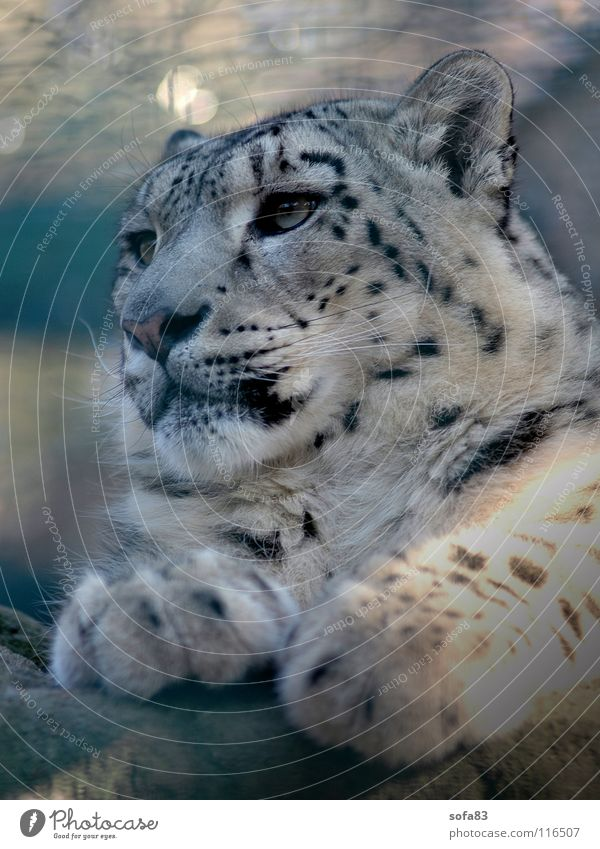schneeleo2 Snow leopard Panther Cat Big cat Zoo Berlin zoo Animal Boredom Looking Concentrate Mammal Wild animal Loneliness portait portrait
