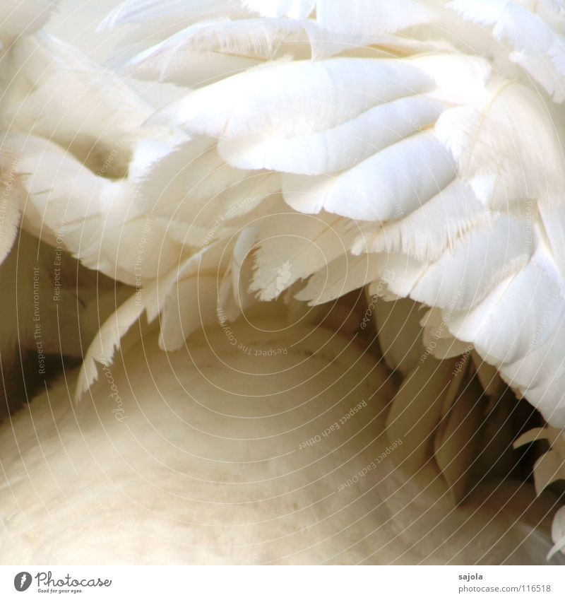 Beautiful White Animal Bird Elegant Perspective Esthetic Soft Feather Wing Wild animal Classification Cuddly Swan Downy feather
