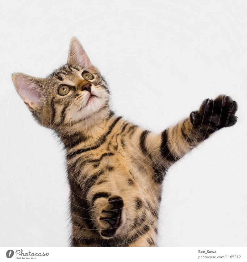 Striped cat Animal Pet Cat Kitten 1 Catch Hunting Fight Smart Brown Yellow Gold Enthusiasm Power Willpower Love of animals Colour photo Studio shot Deserted