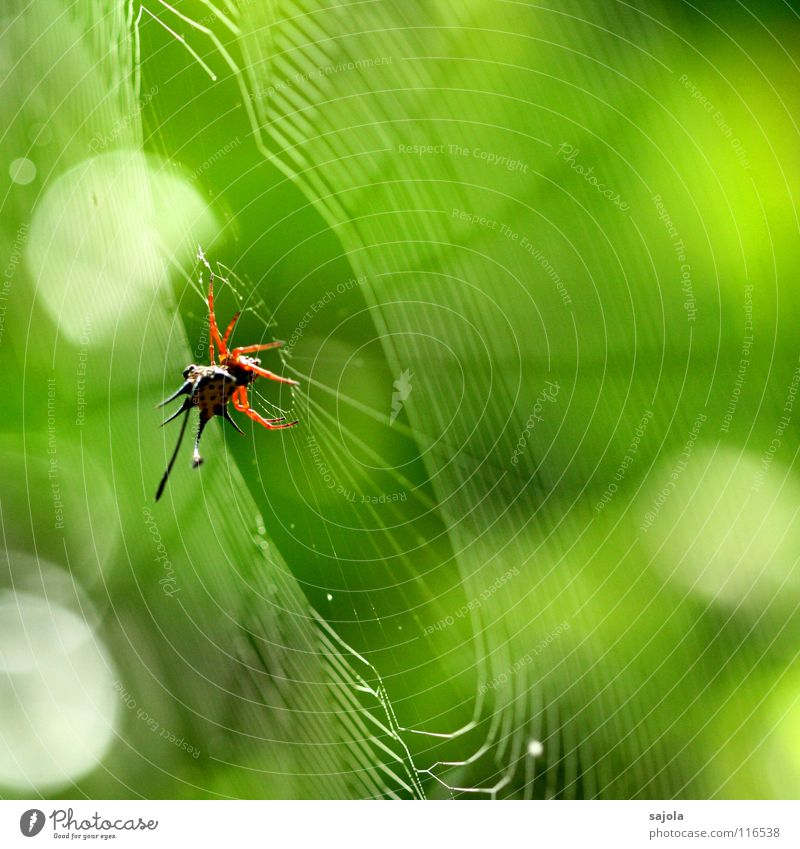 horned spider in the web Animal Virgin forest Spider 1 Net Wait Disgust Thorny Yellow Green Red Antlers Point Spider's web Circle Delicate Spiral Spokes Borneo