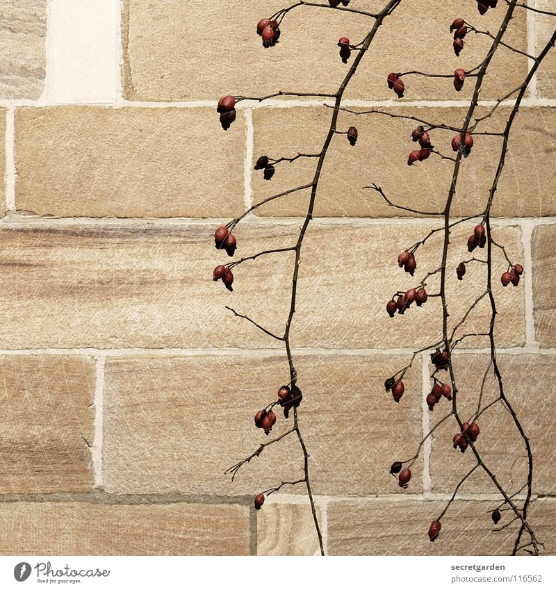 rose hip florets Wall (building) Wall (barrier) Room Block Sandstone Beige Red Fantastic Hang Bushes Edible Winter Autumn Loneliness Simple Park Plant