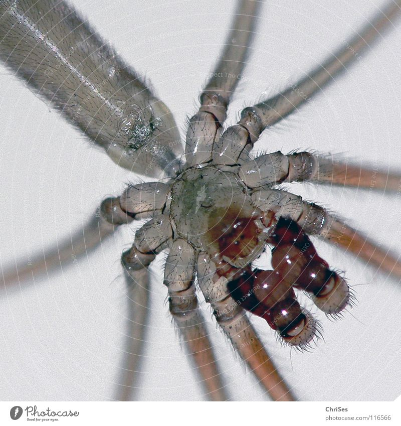 Trembling spider, Pholcus phalangioides_02 Spider Baldachin Animal Insect Masculine Disgust Articulate animals Light table Northern Forest Fear Panic