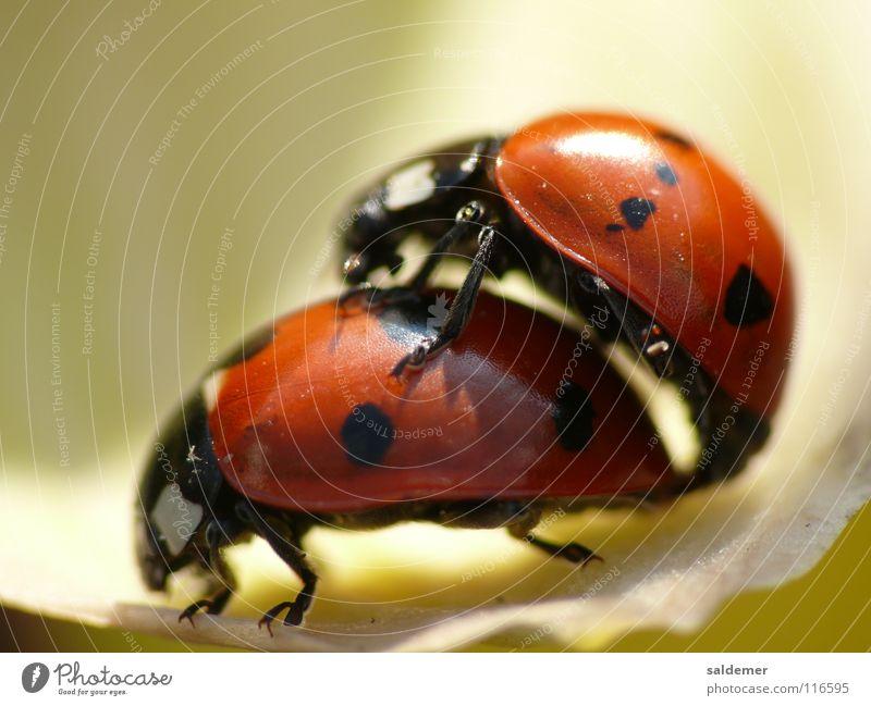 Red Animal Orange Point Beetle Ladybird Propagation
