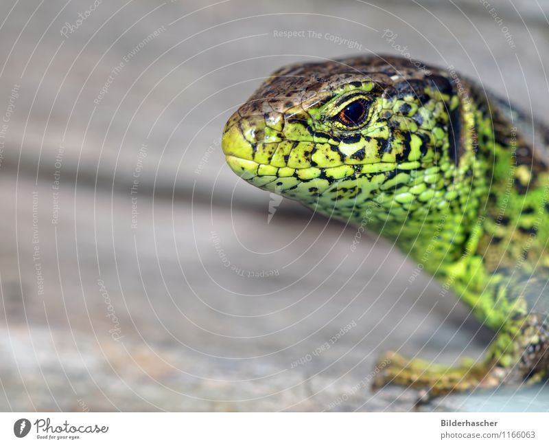 inquisitorial Sand lizard Lizards Saurians Reptiles Mane Animal Green Variable Sunbathing Close-up Propagation Cor anglais Flake Hide Animal portrait Eyes