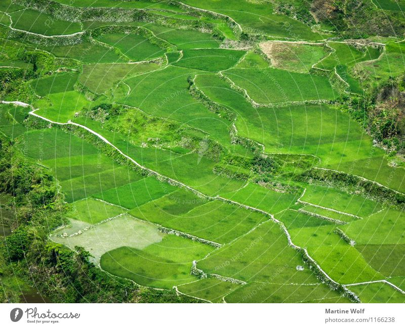 green pattern Environment Nature Landscape Grass Rice Field Green Vacation & Travel Asia Luzon Philippines Paddy field Colour photo Exterior shot